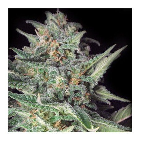 Big Skunk La Plata Labs Seeds