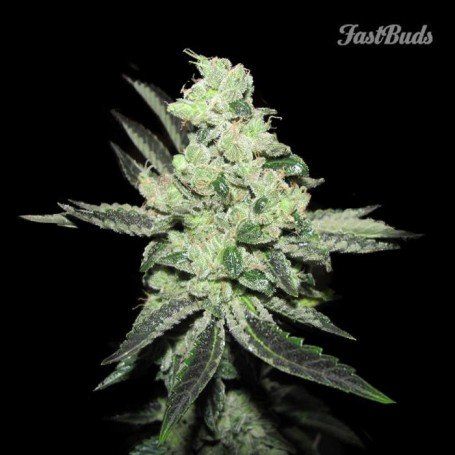 Pineapple Express FastBuds 3