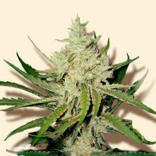 Amnesia Haze The Bulk Seeds