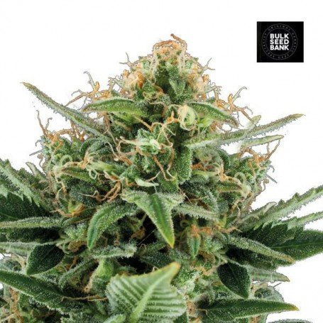 Jack Hair - Bulk Seed Bank