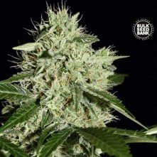 Northern Light The Bulk Seeds