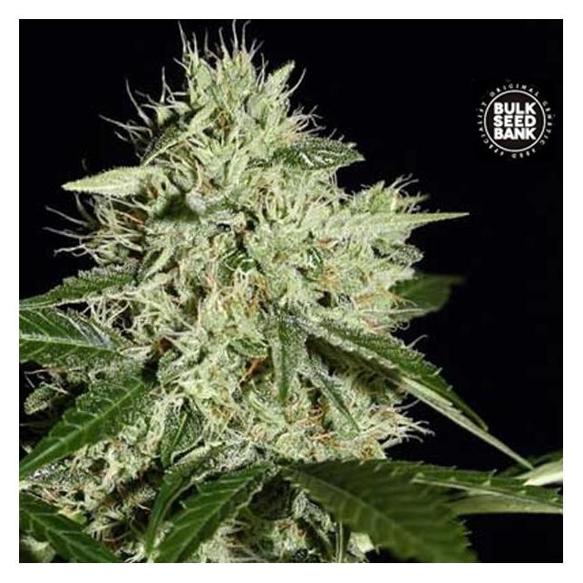 Northern Light - Bulk Seed Bank