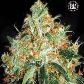 Original Orange Bud The Bulk Seeds
