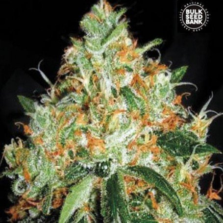 Original Orange Bud - Bulk Seed Bank