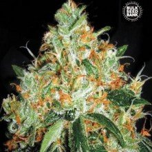 Original Orange Bud The Bulk Seeds