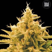 Ananas Funk The Bulk Seeds
