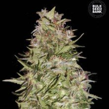 White Prussian The Bulk Seeds