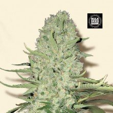 White Widow The Bulk Seeds