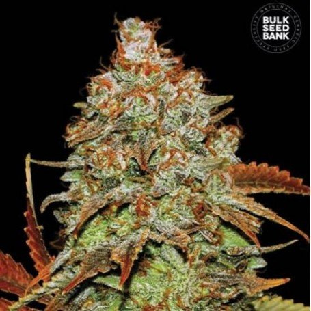 Bubblegum Extra Auto The Bulk Seeds