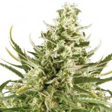 Critical Auto The Bulk Seeds