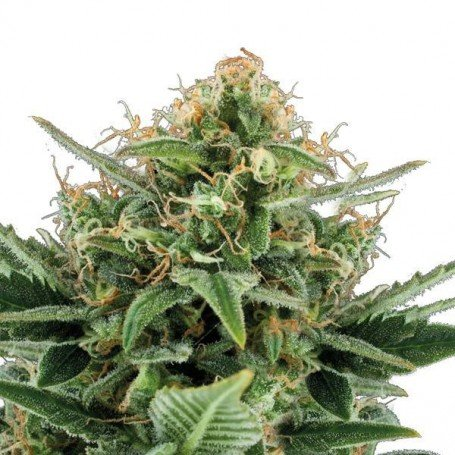 Jack Hair Auto The Bulk Seeds