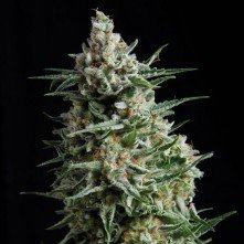 NBA Diesel Auto The Bulk Seeds