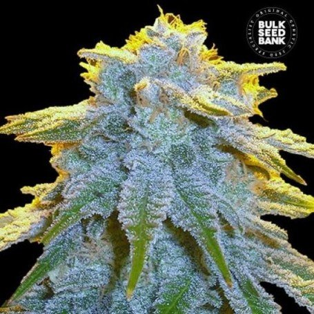 Sweet Tooth Auto - Bulk Seed Bank