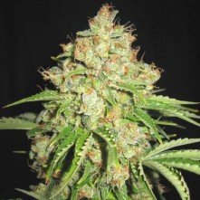 White Prussian Auto The Bulk Seeds