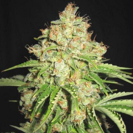 White Prussian Auto - Bulk Seed Bank