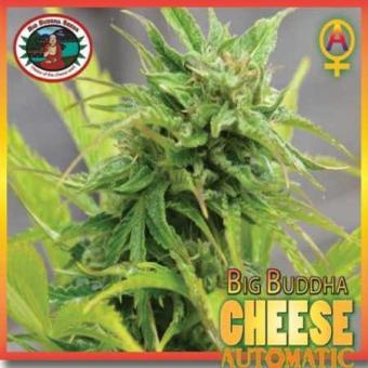 Big Buddha Cheese Auto