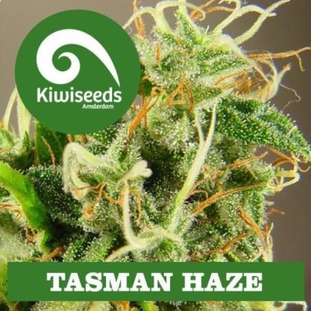 Tasman Haze