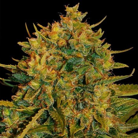 Autoflowering Collection World Of Seeds 4