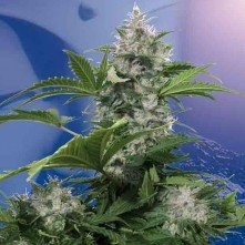 White Dwarf Auto Regular