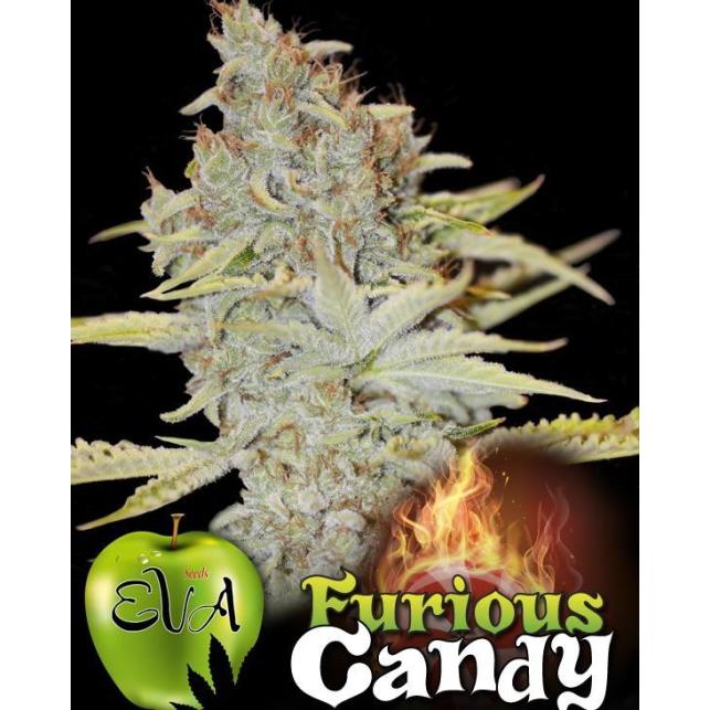 Furious Candy, une des plantes plus résineuses au monde, idéales pour l'extraction du cannabis