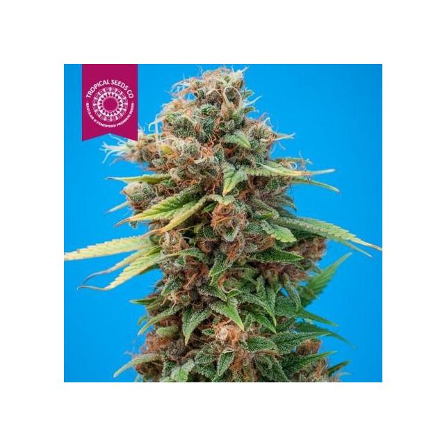Smooth Smoke Tropical Seeds