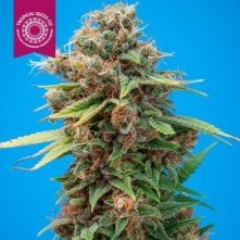 Smooth Smoke Tropical Seeds Regular
