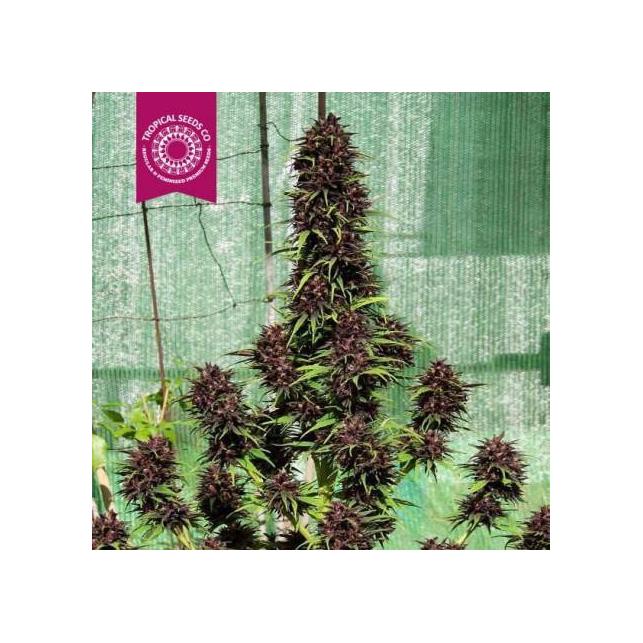 Smooth Smoke Tropical Seeds Floreciente