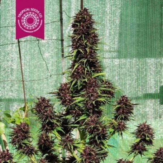 Smooth Smoke Tropical Seeds Femelle
