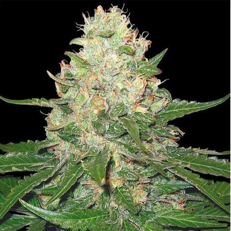 Rocklock Grow Your Own (DNA)