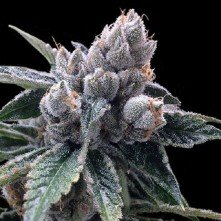 White Walker Kush