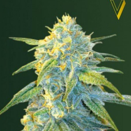 Northern Light Auto Victory Seeds