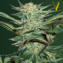 White Widow Auto Victory Seeds