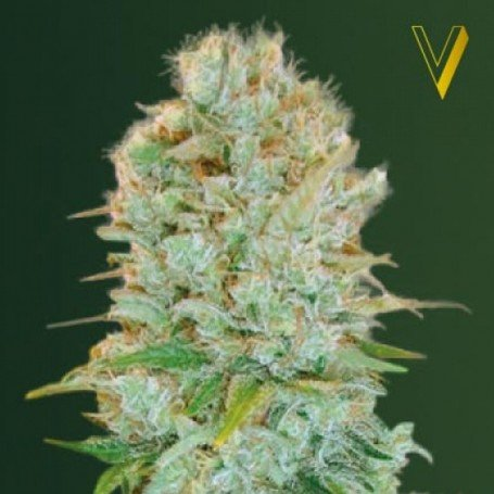 Critical Victory Seeds