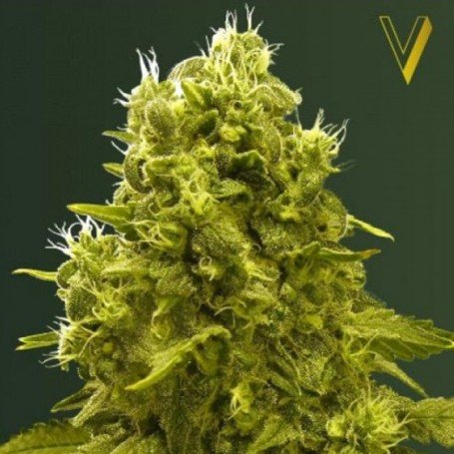 Jack Hammer Victory Seeds