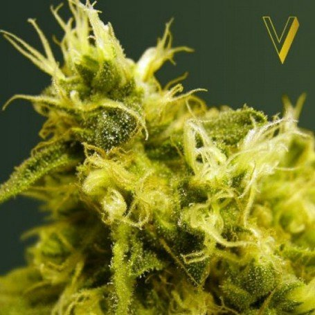 White Widow Victory Seeds