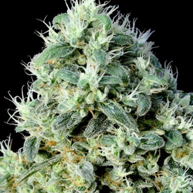 Og lemon bilbo genehtik graines de cannabis f minis es for Og kush exterieur