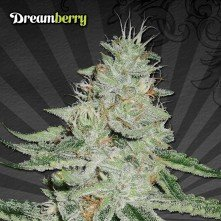 Dreamberry