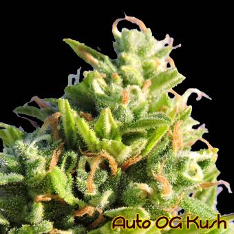 Auto OG Kush The Original Sensible Seeds