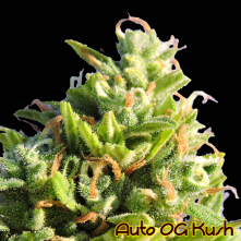 Auto OG Kush The Original Sensible Seeds