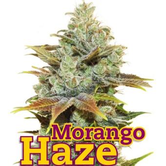 Morango Haze
