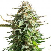 Amnesia Biological Seeds