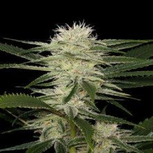 Auto Amnesia Biological Seeds