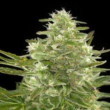 Auto Critical Biological Seeds