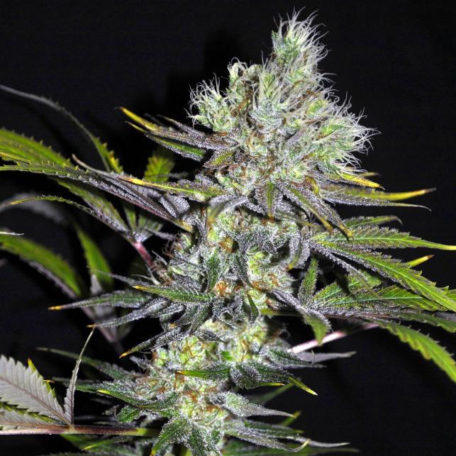CBD Sweet & Sour Widow 1