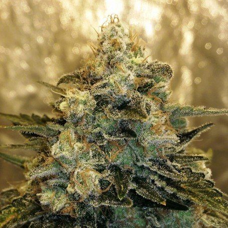 Bubble Bomb Bomb Seeds 1