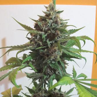 Mendocino Purple Kush 1