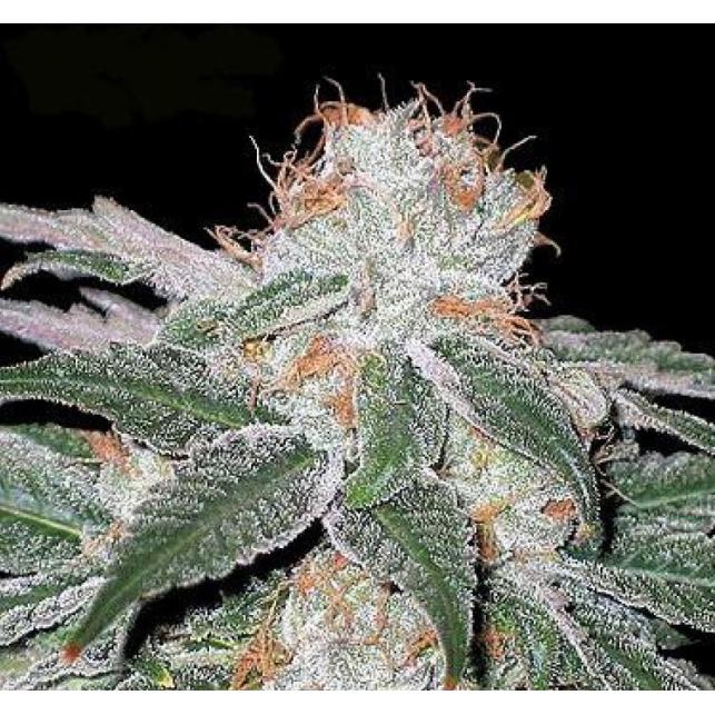 White Widow Seedsman 1