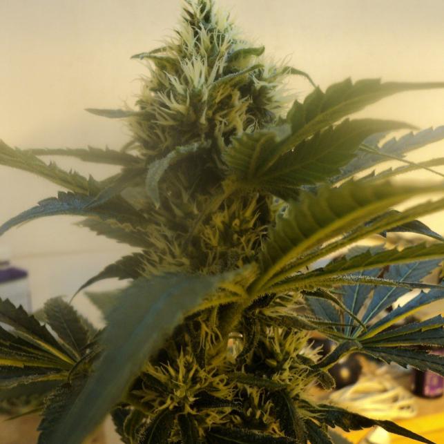 OG Kush Humboldt Seeds 2
