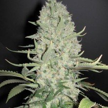 Critical Widow Green Fantasy