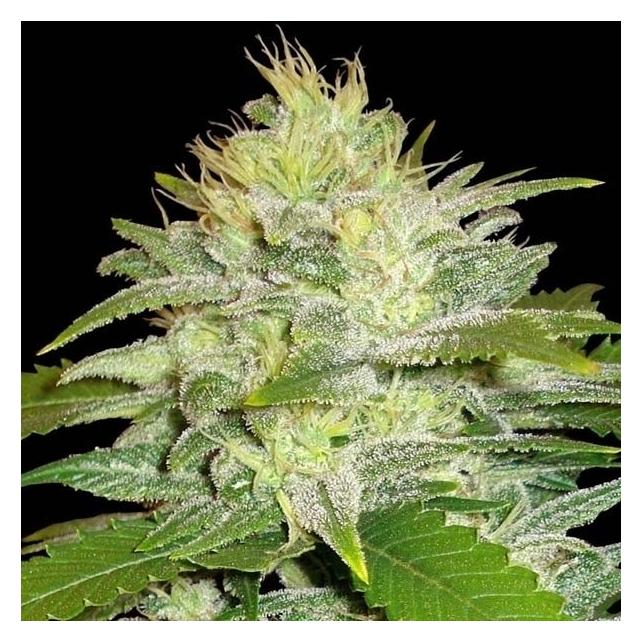 La Musa Delicious Seeds
